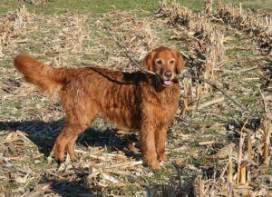 Golden retriever with stick