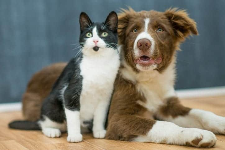 Dog Breeds That Can Live Calmly With Cats