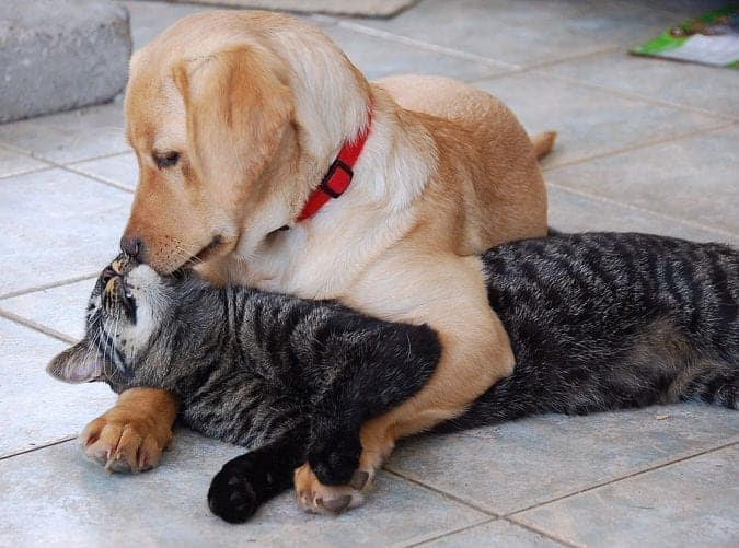 labrador-retriever-puppy-kisses-cat