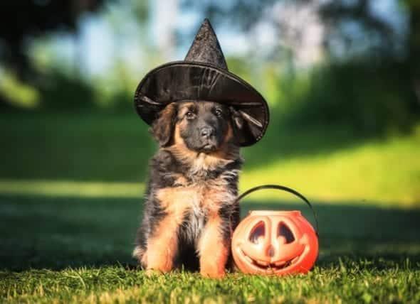 Halloween-dog-734121508