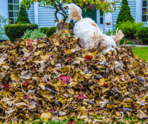 dog jumping into leaves
