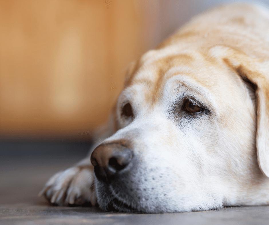 Sad yellow Labrador