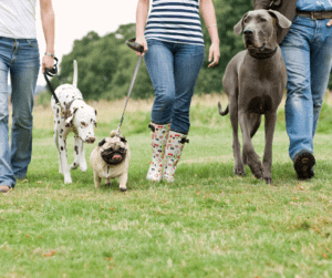 Dogs walking together on a leash