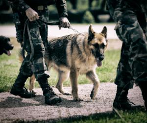 military dog German shepherd