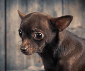 stressed chihuahua