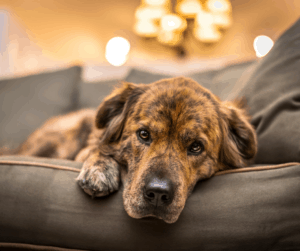 stressed dog on the couch