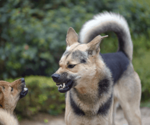 two angry dogs
