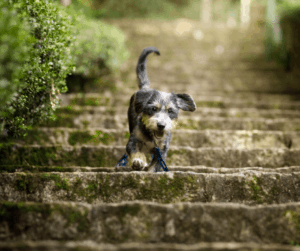 dog going down steps
