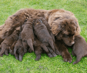 mom dog with puppies