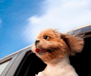 dog in the car