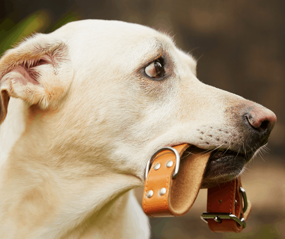 dog holding collar in mouth