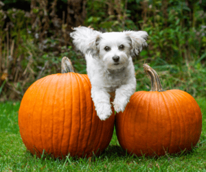 pumpkin and dog